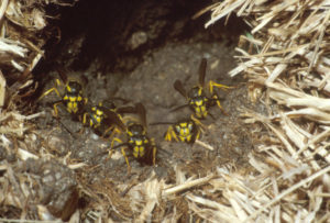 ground-nesting-yellowjackets